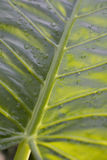 Folha de palmeira dentro brilhar-através da luz Fotografia de Stock