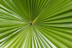 Folha de palmeira do açúcar Fotos de Stock