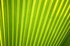 Folha de palmeira do açúcar Foto de Stock