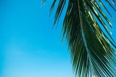 Folha de palmeira do coco no fundo do céu azul imagens de stock
