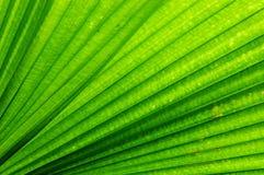 Folha de palmeira do ventilador Imagem de Stock