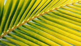 Folha de palmeira do verde amarelado Fotografia de Stock Royalty Free
