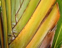 Folha de palmeira do viajante Imagem de Stock Royalty Free