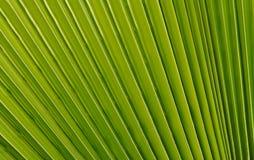 Folha de palmeira em forma de leque Imagem de Stock