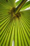 Folha de palmeira grande Fotos de Stock Royalty Free