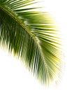 Folha de palmeira isolada no fundo branco Fotografia de Stock Royalty Free