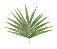 Folha de palmeira isolada no fundo branco Close up de um ramo da árvore de coco Folha tropical verde imagens de stock
