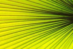 Folha de palmeira para o fundo Fotografia de Stock