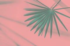 Folha de palmeira pontudo redonda bonita do verde da cerceta no fundo cor-de-rosa pastel em escapes da luz solar Estilo tonificad foto de stock