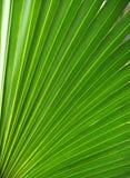 Folha de palmeira, textura da fronda Imagem de Stock