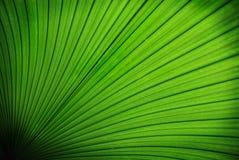 Folha de palmeira tropical Fotos de Stock Royalty Free