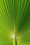 Folha de palmeira tropical bonita fotografia de stock royalty free
