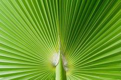 Folha de palmeira tropical bonita foto de stock