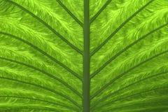 Folha de palmeira verde (2) Fotos de Stock Royalty Free