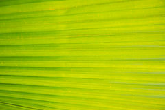 Folha de palmeira verde fotografia de stock