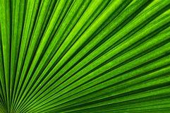Folha de palmeira verde Imagens de Stock