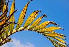 Folha de palmeira verde-amarela com veias radiais Fotografia de Stock