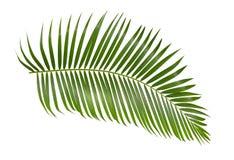 Folha de palmeira verde isolada no fundo branco com trajeto de grampeamento imagens de stock royalty free