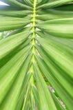 Folha de palmeira verde paralela Fotografia de Stock Royalty Free
