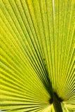 Folha de palmeira verde. Teste padrão ou fundo Fotografia de Stock Royalty Free