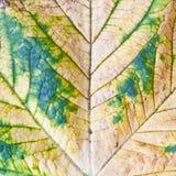 Folha de plátano Foto de Stock Royalty Free