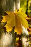 Folha de plátano amarela Imagens de Stock Royalty Free