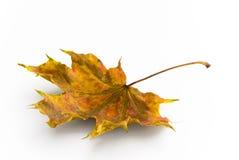 Folha de plátano da cor do outono foto de stock