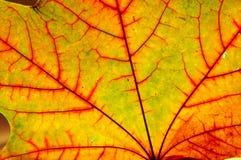 Folha de plátano do outono Fotografia de Stock Royalty Free