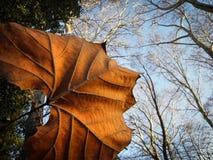 Folha de plátano do outono Fotografia de Stock