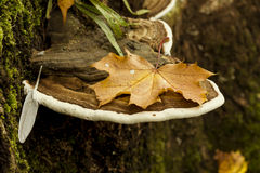 Folha de plátano do outono Foto de Stock Royalty Free