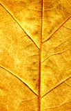 Folha de plátano do outono imagens de stock