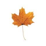 Folha de plátano do outono isolada em um fundo branco Foto de Stock Royalty Free
