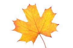 Folha de plátano do outono isolada no fundo branco Imagens de Stock Royalty Free