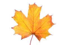Folha de plátano do outono isolada no fundo branco Imagem de Stock