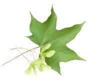 Folha de plátano e sementes verdes Fotografia de Stock Royalty Free