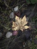 Folha de plátano isolada Fotografia de Stock Royalty Free