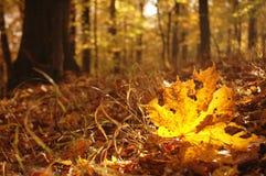 Folha de plátano na floresta do outono fotografia de stock