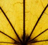 Folha de plátano outonal 6 Fotografia de Stock Royalty Free