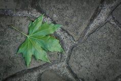 Folha de plátano verde Imagem de Stock Royalty Free