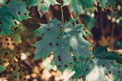 Folha de plátano verde fundo verde da árvore do por do sol do outono da folha de bordo Fotos de Stock Royalty Free