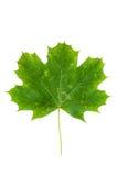 Folha de plátano verde isolada no fundo branco Imagens de Stock Royalty Free