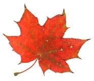 Folha de plátano vermelha Fotografia de Stock