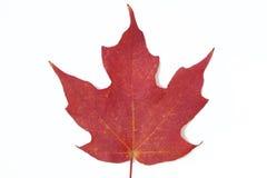 Folha de plátano vermelha Imagem de Stock Royalty Free
