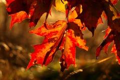 Folha de plátano vermelha Imagens de Stock Royalty Free