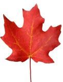 Folha de plátano vermelha do outono Foto de Stock Royalty Free