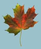 Folha de plátano vermelha do outono imagem de stock