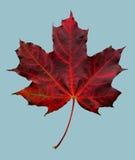 Folha de plátano vermelha do outono imagem de stock royalty free