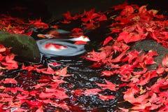 Folha de plátano vermelha durante a queda Imagem de Stock