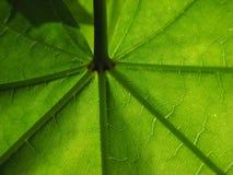 Folha de plátano verde maravilhosa Fotos de Stock Royalty Free