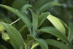 Folha de Salvia Fotografia de Stock
